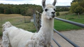 Rockey the Llama