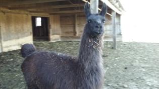 Simon the Llama