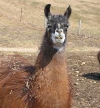 Moses the Llama